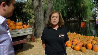 Made in Kern County: Banducci Family Pumpkin Patch - Video