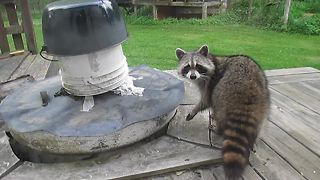 Plotting raccoon gives spine chilling stare - Video