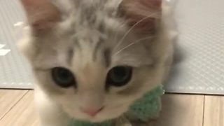 Adorable Kitty Poses For The Camera With New Bow Tie, And Our Hearts Are Melting - Video