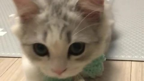 Adorable Kitty Poses For The Camera With New Bow Tie, And Our Hearts Are Melting