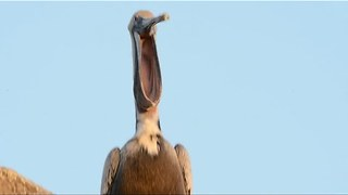 It's Hard to Look Away From This Pelican Yawning - Video