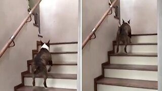 Cheerful Bull Terrier Bounces Up Stairs