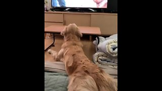 Golden Retriever watches TV in totally hilarious position