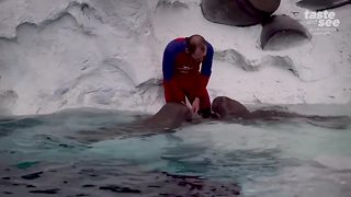 Rescued Alaskan Walrus being raised at SeaWorld - Video
