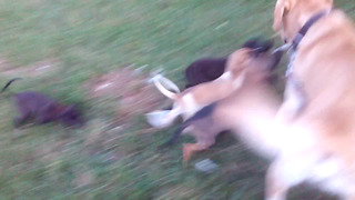 Small Puppies attacked Big DOG, Dog got frustrated by these puppies.  - Video