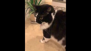Athletic cat jumps on counter in slow motion