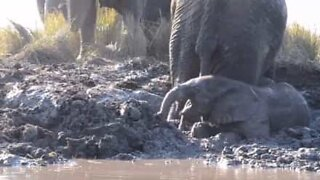 Baby elephant panics after getting stuck in mud