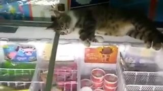 Smart cat sleeps on top of store's ice cream freezer