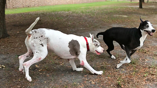 Happy Seven Year Old Great Danes Playing Like Puppies  - Video