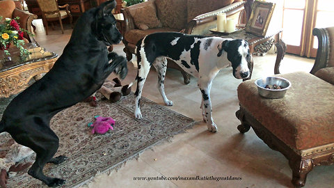 Messy Talkative Great Danes Love To Play While Eating