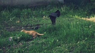 Crows chase cat away from fallen chick - Video