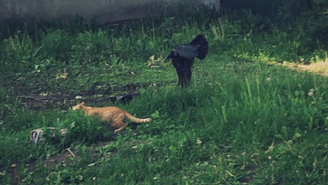 Crows chase cat away from fallen chick