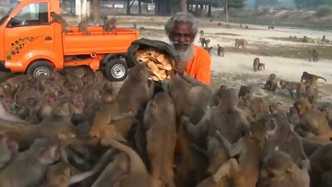 Moment spiritual leader is swarmed by pack of hungry monkeys as he brings bread for them