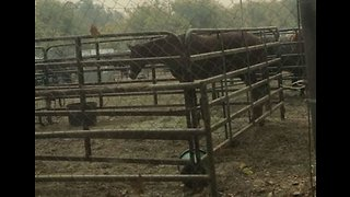 Dozens of Horses Sheltered at California Fairgrounds From Wildfire - Video