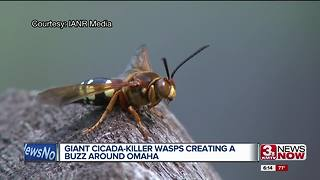 Cicada killer wasps creating a buzz around Omaha - Video