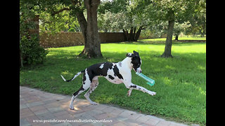 Great Dane works on his newspaper delivery skills