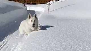 Dog jumps in huge layer of snow!