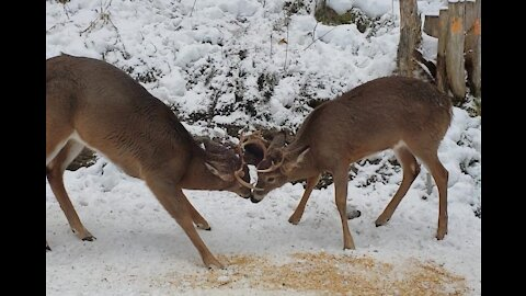 Two Bucks Fighting with Each Other