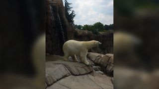 When Polar Bears Watch Too Many Disney Movies - Video