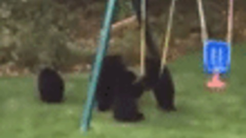 Bear Cubs 'Invade' Connecticut Yard to Play on Swing Set