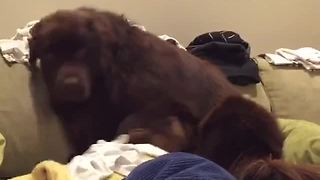 Guilty Newfoundland tries to hide behind pillow - Video