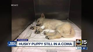 Husky pup in medically induced coma after suffering massive skull fracture - Video