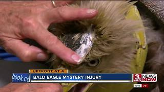 Bald eagle with mysterious head trama is being treated by Fontenelle Forest - Video