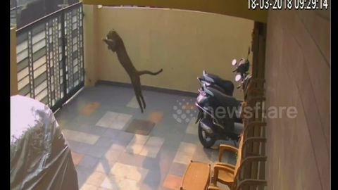 Terrifying moment wild leopard enters home