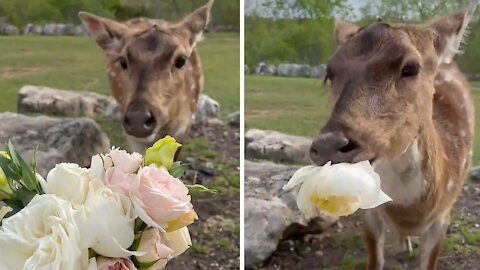 Rescued deer gets a tasty Easter treat