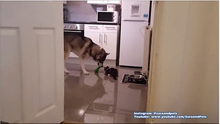 Husky plays fetch, kitten tries to join in - Video