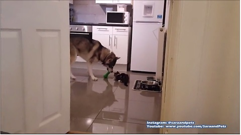 Husky plays fetch, kitten tries to join in