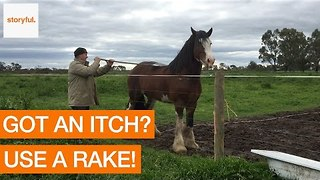 Clydesdale Stallion Cures His Itch With Rake - Video