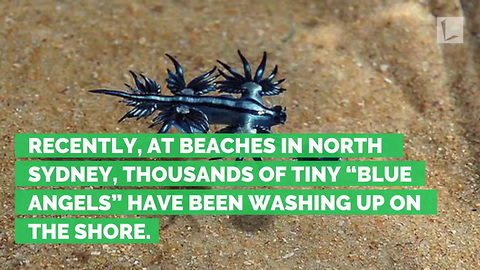 Bizarre Blue Dragon-Like Creatures Wash Up on Beach, Experts Warn Not to Touch