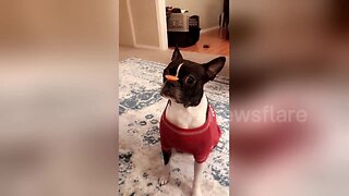 Frenchie Pup Does Super Fast Treat Flip