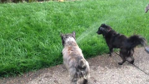 Two Funny Dogs Freshen Up On A Lawn Water Sprinkler