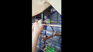 Parrot and baby chicken have conversation with each other
