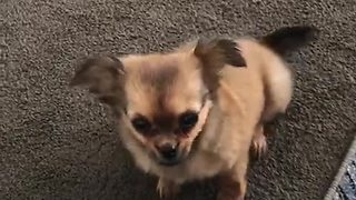 Super excited chihuahua puppy ready for playtime - Video