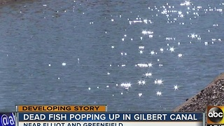 Why? Dead fish showing up in Gilbert canal - Video