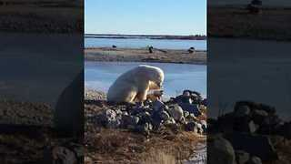 Dog Has Close Encounter With Polar Bear - Video