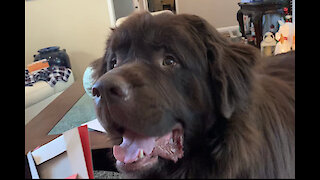 Huge Newfoundland rummages through Christmas gifts