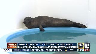 Phil, the harbor seal, to be released back into the wild on Tuesday - Video