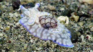 Beautiful footage of ethereal and rare sea snail captures internet's attention garnering 2.4million views - Video