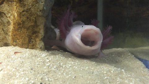 Tired Axolotl takes an adorable yawn