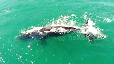 Drone captures mother whale and calf swimming off Chile