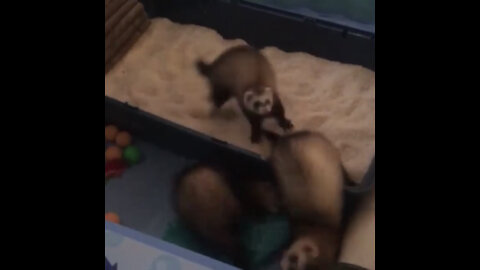 Ecstatic baby ferrets play in tray filled with rice