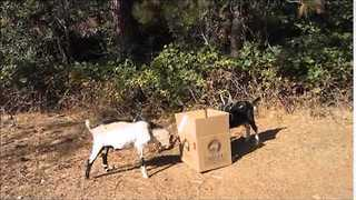 Goats Brutally Attack Unsuspecting Cardboard Box - Video