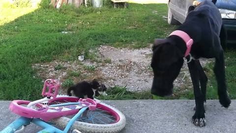 Great Dane Plays with Kittens