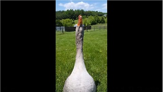 Goose gives air kisses for Mother's Day