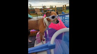 Goggle-wearing pup loves to swim in the pool