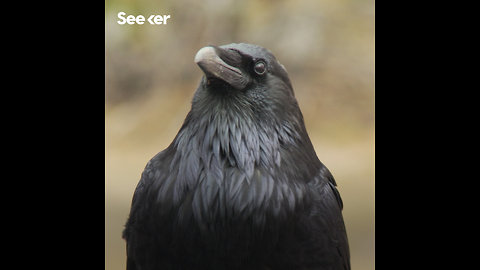 Crows Are Good at Guessing Weight